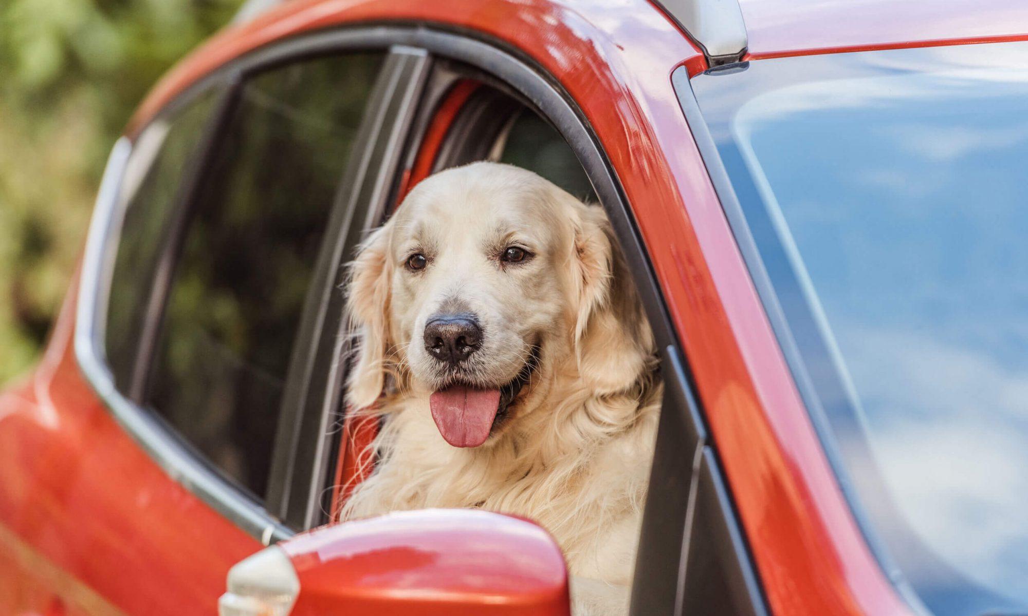 Assurance chiens : le transport de chien en voiture